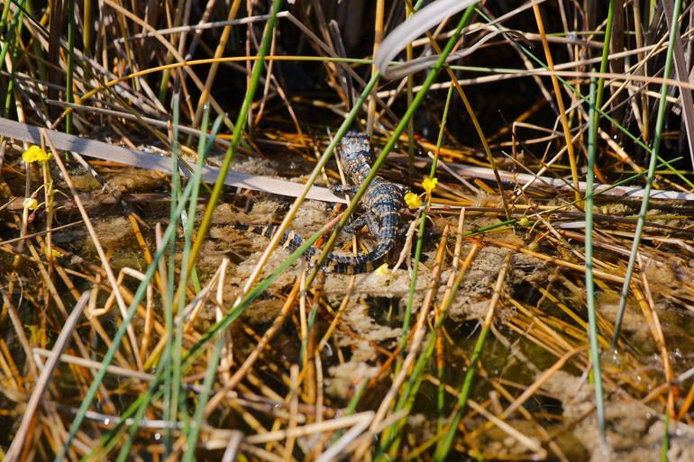 New born alligator - Everglades National Park