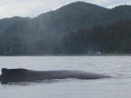 Photo of Juneau Juneau Whale Watching Adventure and Mendenhall Glacier Tour View of a Huge Whale