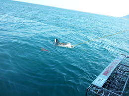 Photo of Cape Town Cage Diving with Great White Sharks from Cape Town No, its not a film