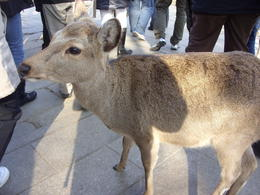 Photo of Tokyo Kyoto and Nara 2-Day or 3-Day Rail Tour by Bullet Train from Tokyo Japan Nara hungry deer