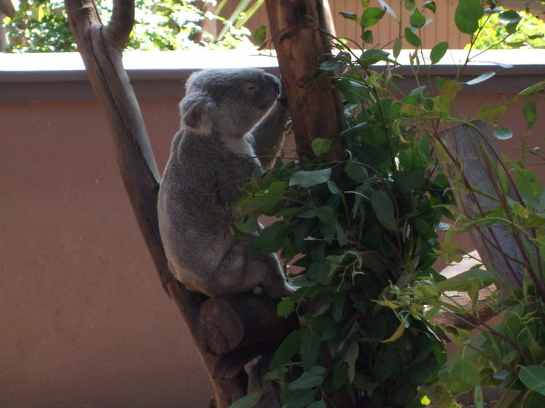 Koalas at san diego zoo - San Diego