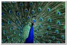 Photo of Fort Lauderdale Flamingo Gardens Admission in Fort Lauderdale with Optional Wildlife Tram Ride Peacock by Lorenzo Cassina