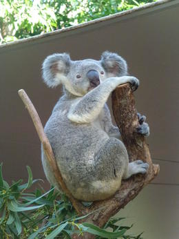 Photo of The Whitsundays & Hamilton Island Whitehaven Beach and Hamilton Island Cruise Cuddle a koala