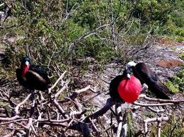 Frigate Birds on Genovesa Island, Galapagos: winner and loser in the mating game - August 2011