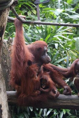 Photo of Singapore Singapore Zoo Morning Tour with optional Jungle Breakfast amongst Orangutans Mother and Babies