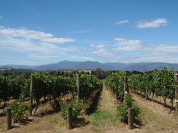 Photo of Melbourne Yarra Valley Food and Wine Small Group Tour Chandon vineyards