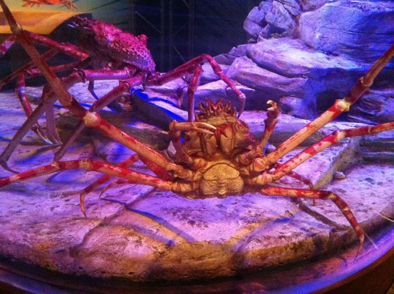 Japanese Spider Crabs - Phoenix