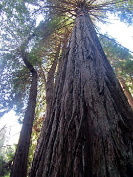 Giant Redwoods , Chris M - April 2013