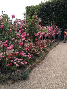 The roses were absolutely spectacular , Laurinda L - June 2015