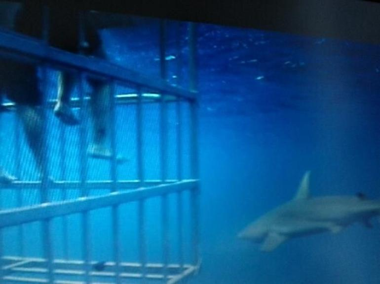 shark by da cage - Oahu
