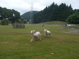 Photo of Auckland Waitomo Caves and Rotorua Day Trip from Auckland Sheep dog in action