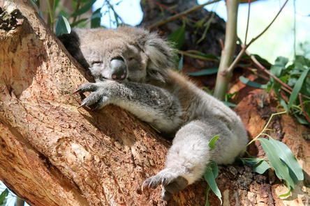 sleepy-koala-photo_6061257-fit468x296.jp