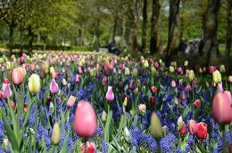 land of the tulips.. , ALFRED D - May 2013