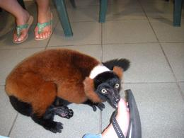 It was amazing to see the Lemurs that close, what a wonderful animal. - June 2009