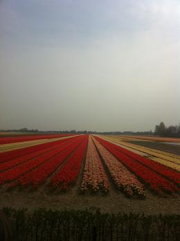 Tulip fields of Holland, Dominique - September 2011