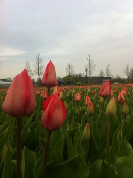 Photo of Amsterdam Keukenhof Gardens and Tulip Fields Tour from Amsterdam Tulip Fields in Holland