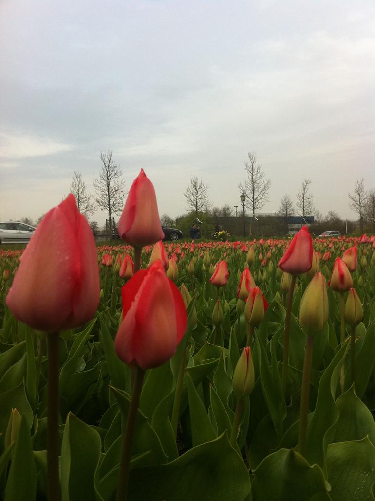 Tulip Fields in Holland - Amsterdam