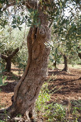 They were out of their olive oil when we went. Look out for it if you go and they might have it in stock. , Felicia P - September 2015