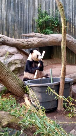 Mother panda eating, Josh - February 2015