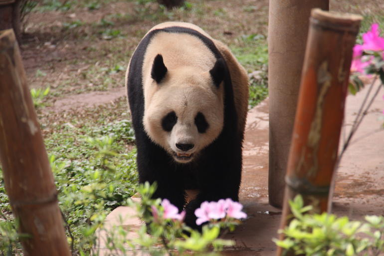 One of the Guangzhou Pandas - Hong Kong
