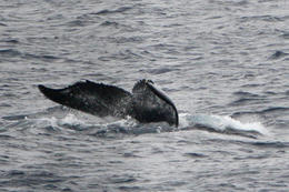Photo of Oahu Oahu Whale Watching Cruise Whale tail March 10, 2013 Oahu, Hawaii