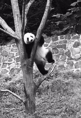 During the visit you can see other Panda taking it easy... , Marco D - June 2016