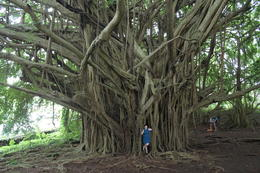 This gigantic tree is right next to Rainbow Falls - August 2014