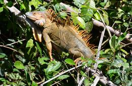 Photo of San Jose Tortuguero National Park iguana
