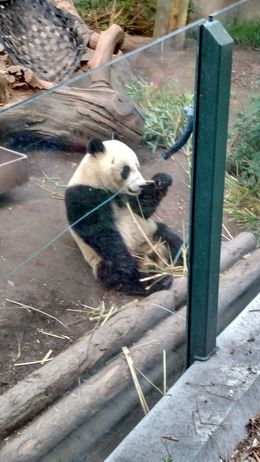 The baby panda just sat there and stared at us while it ate food, Josh - February 2015