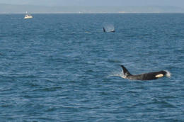 Photo of Seattle Friday Harbor Day Trip & Whale Watching from Seattle Orca Whales