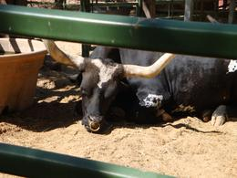 PICTURE OF A STEER, STATIONED AT THE TRAIL RIDE - September 2010