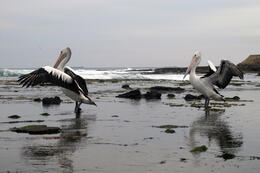 Photo of   Pelicans at Newcastle Beach