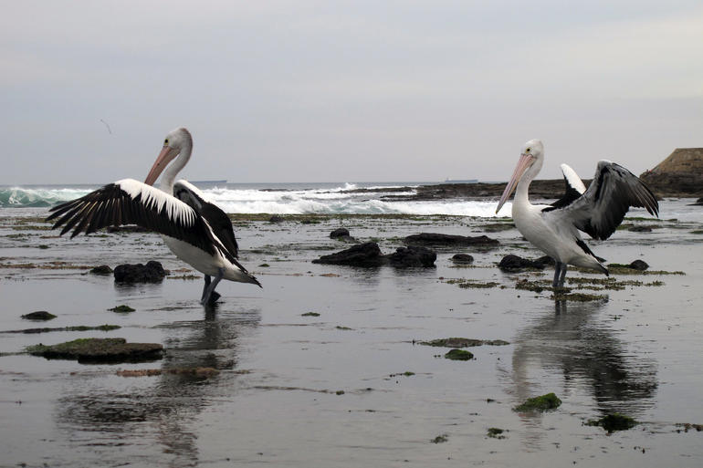 Pelicans at Newcastle Beach - New South Wales