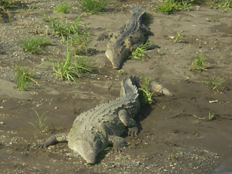 Costa Rica - Crocodiles - San Jose