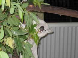 Photo of Cairns & the Tropical North Cairns Night Zoo Safari and Barbecue Dinner Koala eating