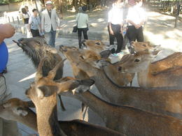 Photo of Kyoto Nara Afternoon Tour of Todaiji Temple, Deer Park and Kasuga Shrine from Kyoto Nara Deer Park