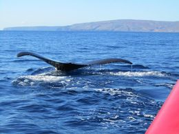 The whales swam right under our raft and provided an excellent photo opportunity! , Maureen B - February 2016