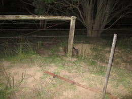 watching the wombats as they roam around the bush at night, Nicks - December 2013