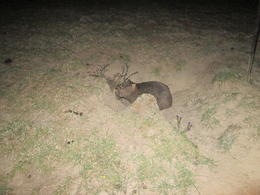 This wombat was ready to head into his burrow for the night. It's amazing the size of burrows these animals create for themselves. Pretty impressive I tell you, Nicks - December 2013