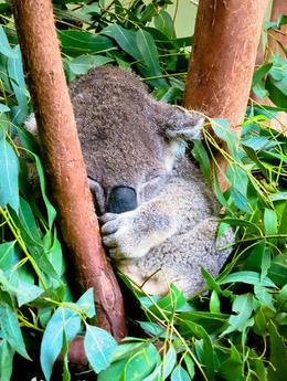 Koala at Featherdale Wildlife Center , Laura B - March 2014