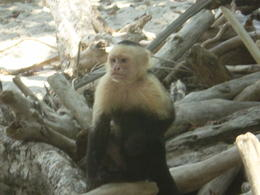 Photo of San Jose Manuel Antonio National Park Day Trip from San Jose Manuel Antonio - Monkey