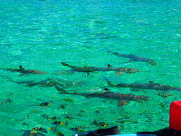 Photo of Bora Bora Bora Bora Snorkel, Sharkfeeding and Lagoonarium Full-Day Tour including Picnic Lunch Sharks