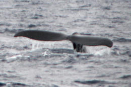 Photo of Oahu Oahu Whale Watching Cruise tail dive