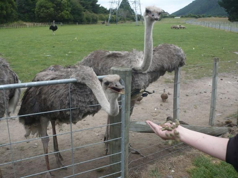 The ever curious ostrich - North Island