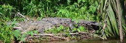 Photo of San Jose Tortuguero National Park crocodile