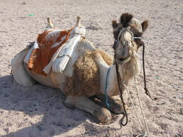 Photo of Sharm el Sheikh Camel Safari with Optional Bedouin Dinner DSCN0658