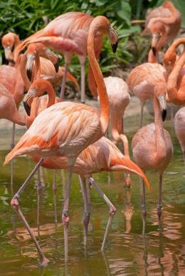 Flamingos, Bing - May 2012