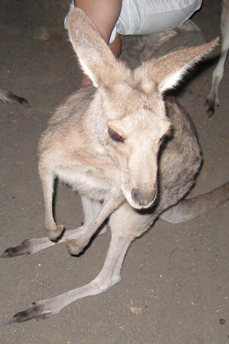 Kangaroo at the Cairns Zoo - Cairns & the Tropical North