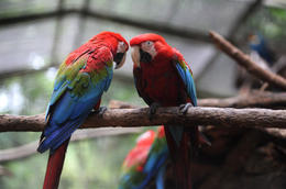 Photo of Singapore Singapore Jurong Bird Park Tour Parrot couple