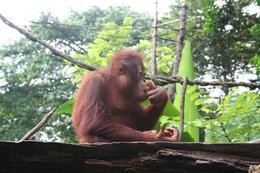 Photo of Singapore Singapore Zoo Morning Tour with optional Jungle Breakfast amongst Orangutans Oragutan having breakfast